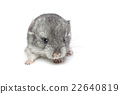 Chinchilla baby isolated over white background 22640819