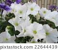 กลีบ,ดอกไม้,แปลงดอกไม้ 22644439