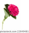 single hortensia flower 22649481