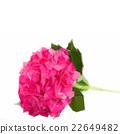 pink hortensia flower branch 22649482