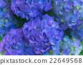 blue hortensia flowers 22649568