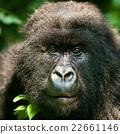 gorilla 22661146