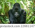 gorilla 22661147