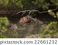 hippo 22661232