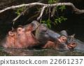 hippo 22661237