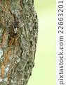 蟬 蝗蟲 棕色大蟬 22663201