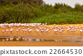 Flock of flamingos 22664530