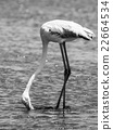 Flamingo eating from shallow water 22664534