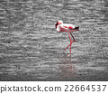 Flamingo walk in shallow water 22664537