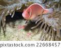 小丑魚 欄架 熱帶魚 22668457