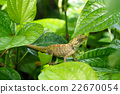 Chameleon on green leaf. 22670054