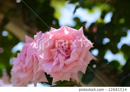 玫瑰長袍 22681514