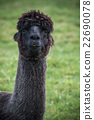 close up head shot of black alpaca in green field 22690078