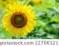 Sunflower or Helianthus Annuus in the farm 22706321