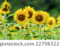 Sunflower or Helianthus Annuus in the farm 22706322