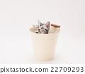 american shorthair, kitty, pussy 22709293
