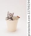 american shorthair, kitty, pussy 22709294