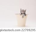american shorthair, kitty, pussy 22709295
