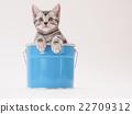 american shorthair, kitty, pussy 22709312