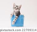 american shorthair, kitty, pussy 22709314