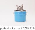 美國短毛貓 小貓 貓咪 22709316