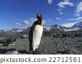 帝王企鵝 企鵝 海岸 22712561