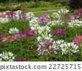克里奧爾小白色凸起和粉紅色的花朵 22725715