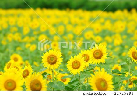 向日葵 向日葵园 夏天 22725893