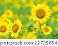 ทานตะวัน,ฤดูร้อน,หน้าร้อน 22725894