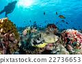 Giant oceanic Box puffer fish underwater portrait 22736653
