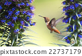 Hummingbird hovering 22737179