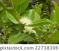 This white flower is a tropical fruit flower flower flower 22738306