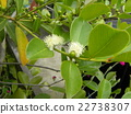 This white flower is a tropical fruit flower flower flower 22738307