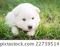 puppy lying on green grass under sunlight 22739514
