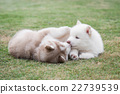 siberian husky puppies lying on green grass 22739539