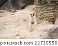 Close up of meerkat 22739550