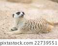Close up of meerkat 22739551