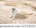 Close up of meerkat 22739552
