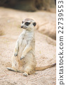 Close up of meerkat 22739553