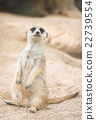 Close up of meerkat 22739554