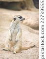 Close up of meerkat 22739555