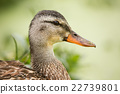 Female Duck Profile With Green Plantlife in the 22739801