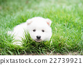 White puppy lying on green grass 22739921