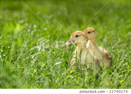 Two duckling on green meadow 22740274