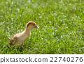 小雞 草地 鳥兒 22740276