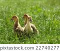 小雞 草地 鳥兒 22740277
