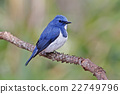Ultramarine Flycatcher Male Birds of Thailand 22749796