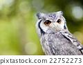 貓頭鷹 猛禽 野鳥 22752273