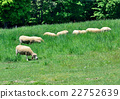 sheep, meadow, ranch 22752639