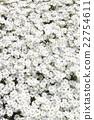 ดอกไม้สีขาวบานสะพรั่งเต็มไปด้วยแสงแดด 22754611